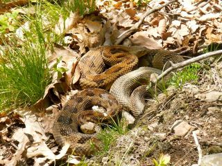 Pregnant female timber rattlesnakes cluster together at birthing rookeries in New York state.