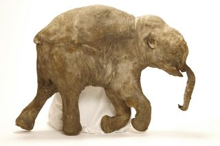 lyuba the baby mammoth