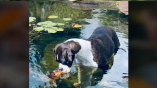 Dog makes friends with fish