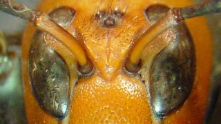 An image shows a murder hornet's distinctive face.