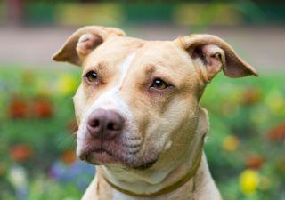 Are Pit Bulls Dangerous Dog Bite