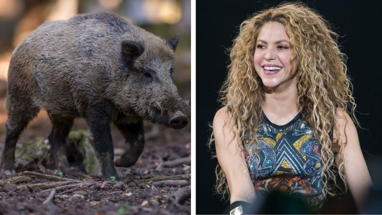 Shakira has a run-in with a wild boar while in Barcelona, Spain.
