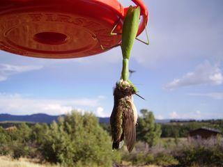 Bird-eating mantis