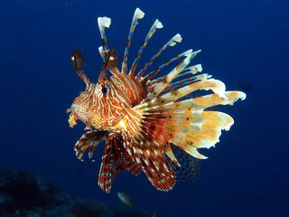 Lionfish, which have no natural predators in the Atlantic, threaten reef systems by preying on fish that clean the reef and keep it healthy.