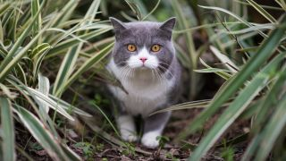 10 environmentally friendly cat products: Close up of British Shorthair in long grass