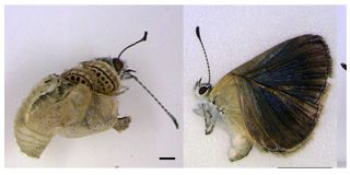 Deformed butterflies near the Fukushima nuclear disaster