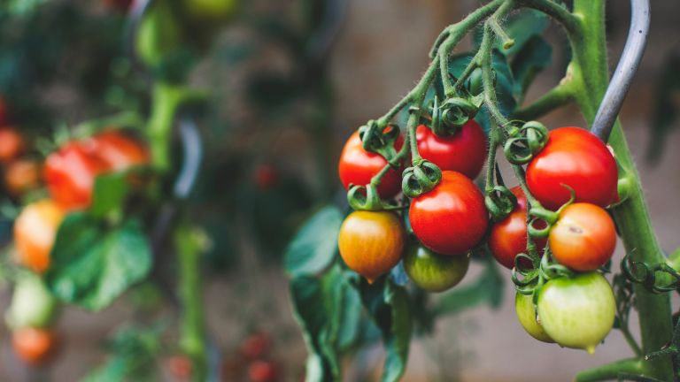 Tomato plant with yellow and red tomatoes