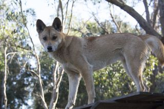 sandy-dingo-genome.jpg