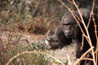 aggressive male chimp