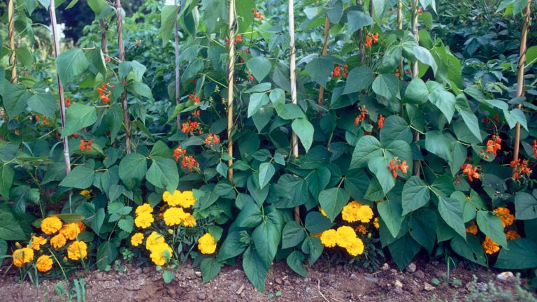 marigolds being used as a companion plant
