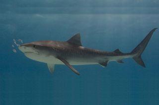 tiger sharks, ecosystem threats