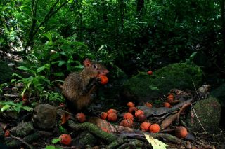 An agouti nibbles on orange fruit from the black palm tree, which contains large seeds.