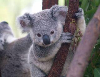Baby koala at the Currumbin Wildlife Sanctuary.