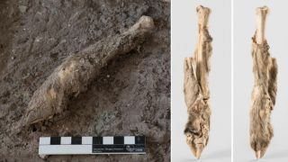 Left image shows a sheep leg recovered from a historic salt mine in northwest Iran, specimen is on site at the mine. Right two images show the cleaned leg against a plain grey background