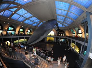 Just hanging around a museum can be dirty work — just ask the American Museum of Natural History's blue whale model, which is about to get its annual cleaning.