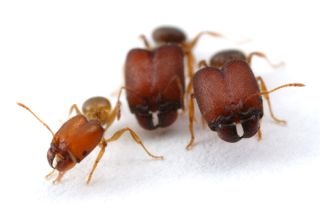 Supersoldier Ants, Soldiers and supersoldiers from the ant genus Pheidole. Supersoldiers have a body size as much as twice as large as soldiers' and heads that as much as three times larger than soldiers'.
