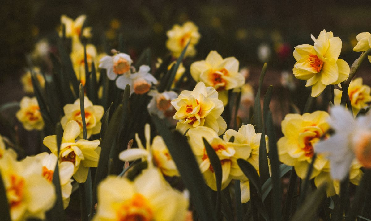 How to plant daffodil bulbs – with Alan Titchmarsh's top tips