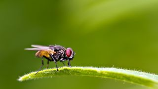 The house fly is known for its evasive maneuvers.