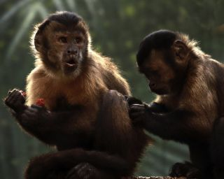 Two tufted Capuchins