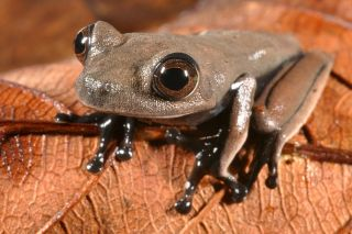 Cocoa Frog discovered in Suriname