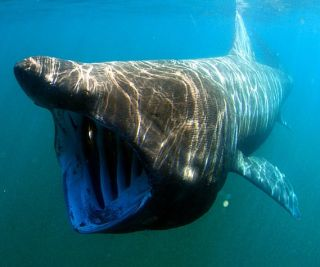 basking sharks tagging, basking shark tracking, second biggest fish on earth, second biggest fish, world's second largest fish, basking shark research, biggest sharks, world's biggest fish, animal news