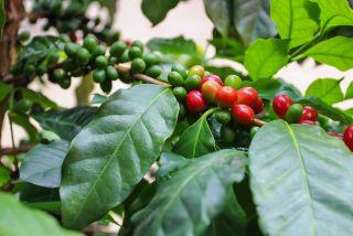 Unripe coffee berries still on the branch.
