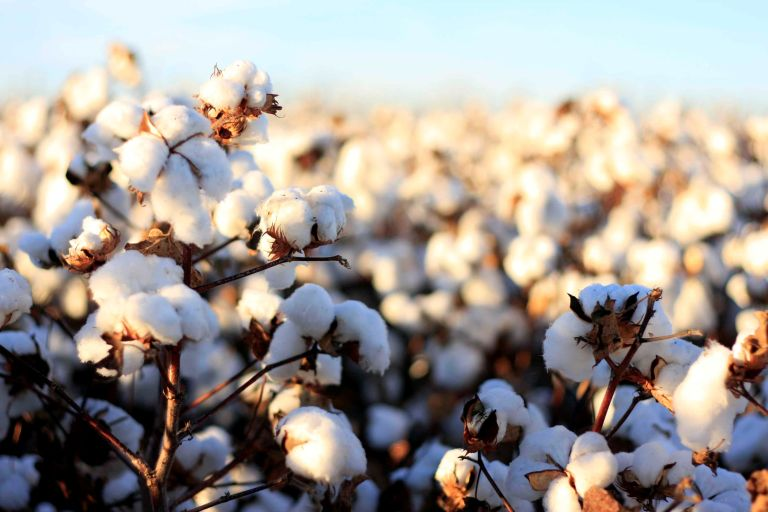 sustainable materials: Organic Cotton