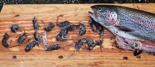 A 19-inch rainbow trout caught in Alaska's Kanektok River, within the Togiak National Wildlife Refuge, was found to contain nearly 20 shrews in August 2009.