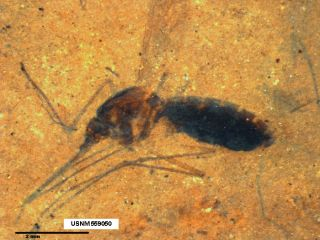The fossil of a blood-engorged mosquito was found in northwestern Montana.