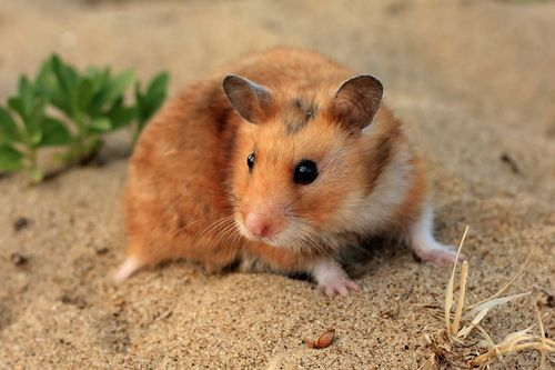 Hamster Facts: Diet, Habits & Types of Hamsters   Live Science