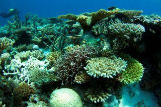 Corals at Scott Reef.