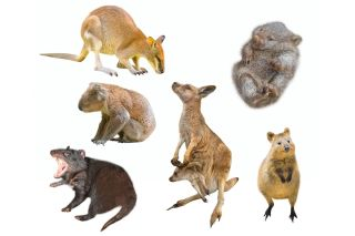 Why Are There So Many Marsupials in Australia? | Live Science