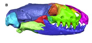 worm lizard CT skull