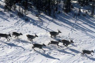 Caribou, reindeer, endangered animals