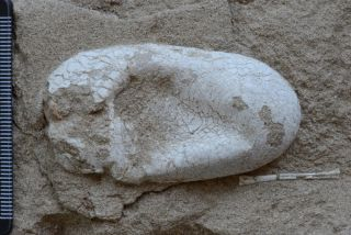 Preserved Pterosaur Egg