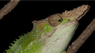 Close-up of a West Usambara two-horned chameleon