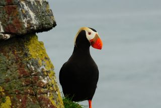 Breeding tufted puffins (Fratercula cirrhata) have been seen on Hawadax Island for the first time since the rats were exterminated in 2008.