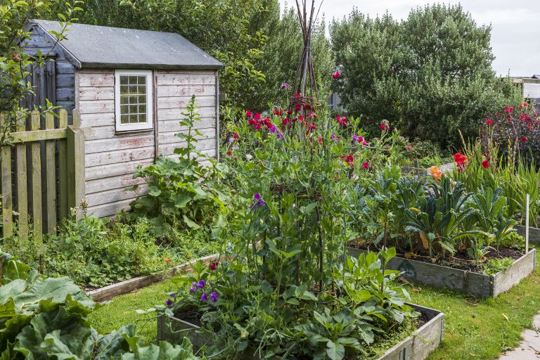 vegetable garden with sweet peas and shed