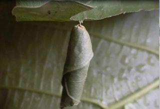 hopping caterpillar