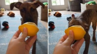 dog's hilarious reaction to a lemon goes viral