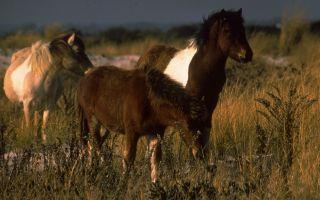 Wild Horses of Assateague Island