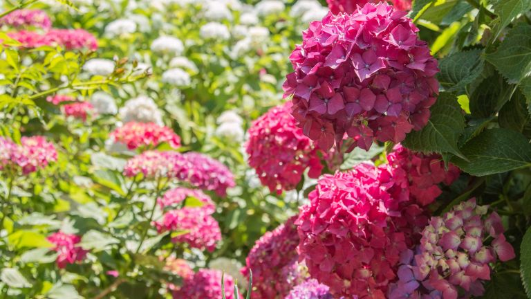 how to prune hydrangeas – pink hydrangeas