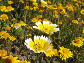 California Annual Flowers