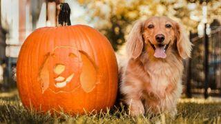 full moon dog on a pumpkin