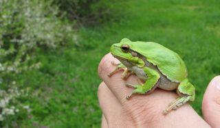 frog-green-02