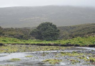 The subantarctic Sitka spruce (<i>Picea sitchensis</i>) stands alone on Campbell Island.