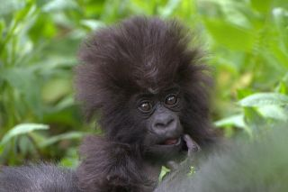 Mountain gorillas only weigh four pounds when they're born.