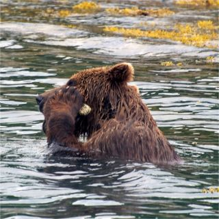 A brown bear in Glacier Bay holds a barnacle-covered rock to his face.