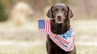 Labrador with American Flag