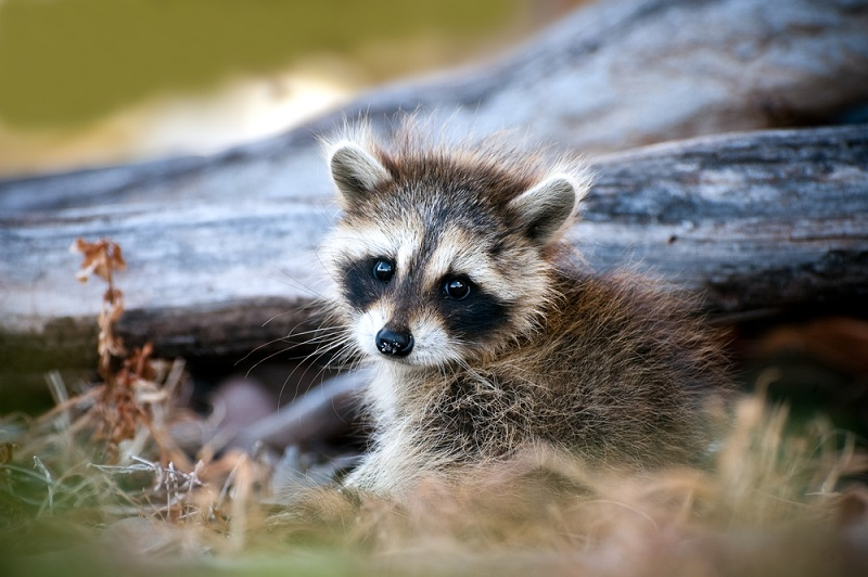 Woman Rescued a Baby Raccoon  Now, She and 20 Friends Need